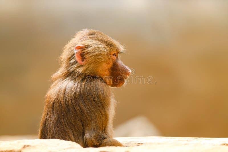 幼小狒狒猴子Pavian,狒狒hamadryas观察凝视和警惕看有棕色bokeh背景在焦点外面 库存照片