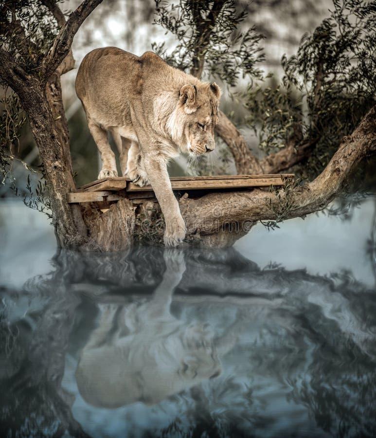幼小狮子在湖里面的一棵树,看他的反射  免版税库存照片