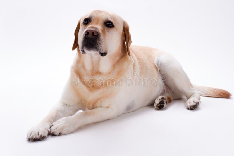 幼小猎犬拉布拉多,演播室射击 免版税库存照片