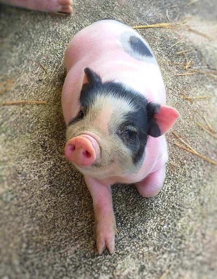 幼小猪 贪心粉红色 图库摄影