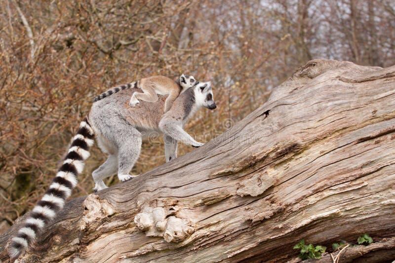 幼小环纹尾的狐猴 库存照片