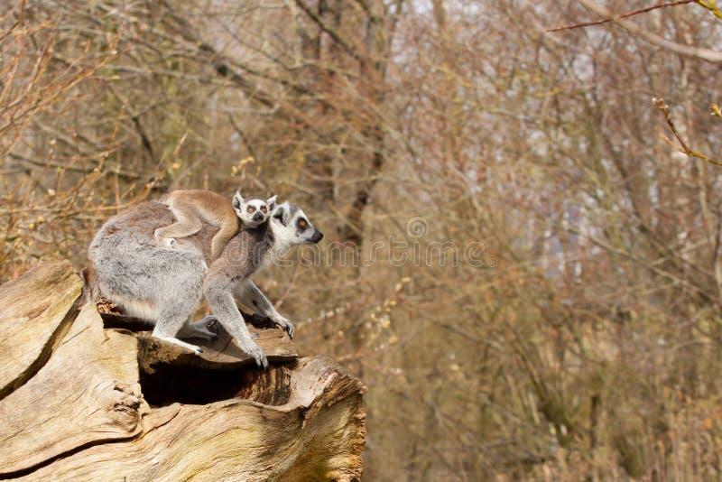 幼小环纹尾的狐猴 免版税图库摄影