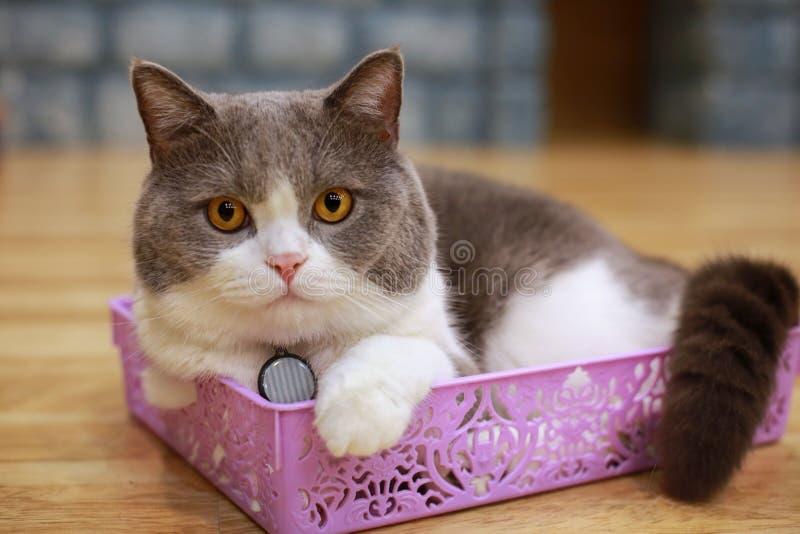 猫��h�_幼小疯狂的惊奇的猫做大眼睛特写镜头 美国shorth.