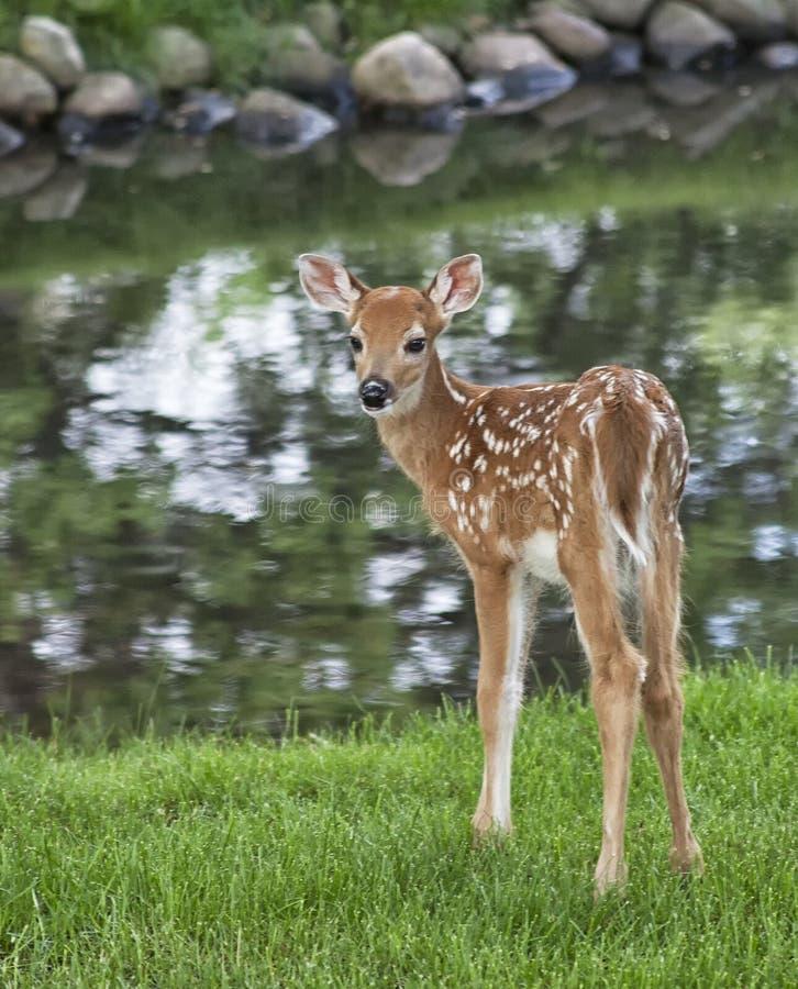 幼小白尾鹿小鹿 库存图片