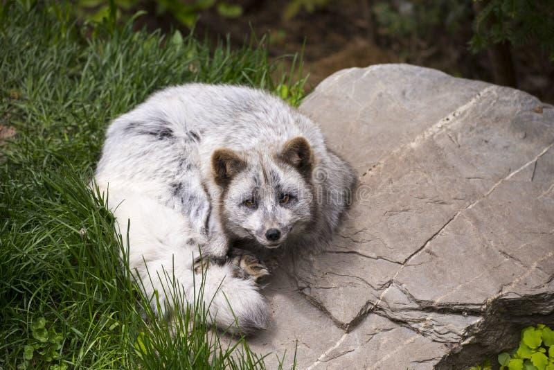 幼小白狐在夏天变体查寻与担心的表示,当卷曲的休息时 免版税库存图片