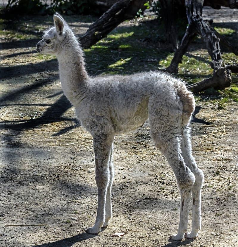 幼小白色骆马1 免版税库存照片