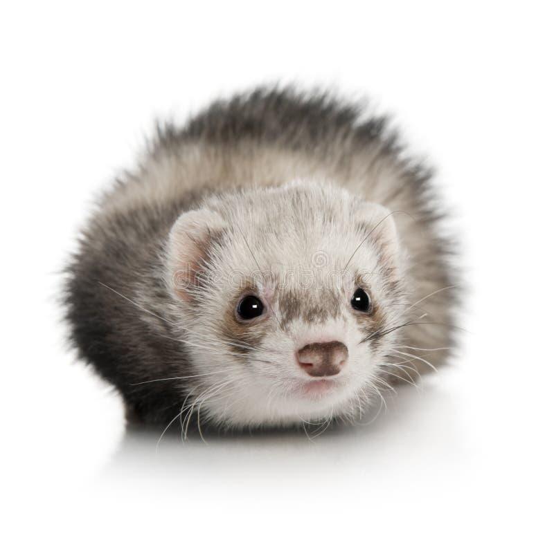 幼小白鼬画象在白色背景前面的 免版税库存图片