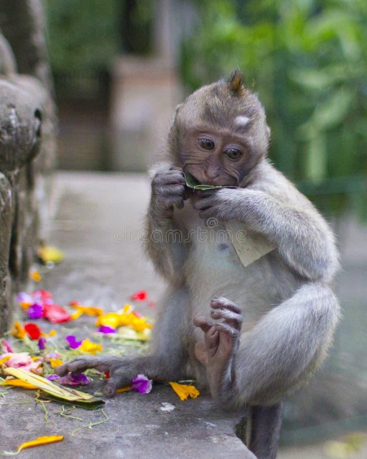 幼小短尾猿在猴子森林, Ubud里 免版税库存照片