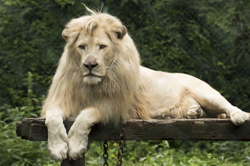 幼小空白狮子 图库摄影