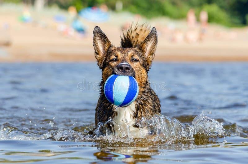 幼小精力充沛的混血狗跳过水 小狗在水中使用与球 免版税库存照片