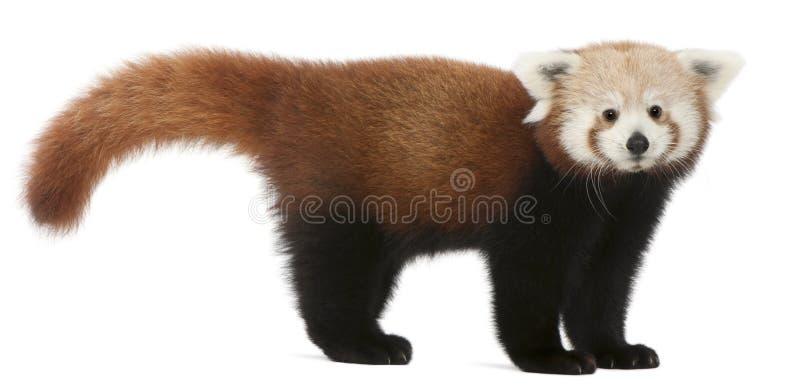 幼小红熊猫或发光的猫,小雄猫属fulgens,7个月 库存照片