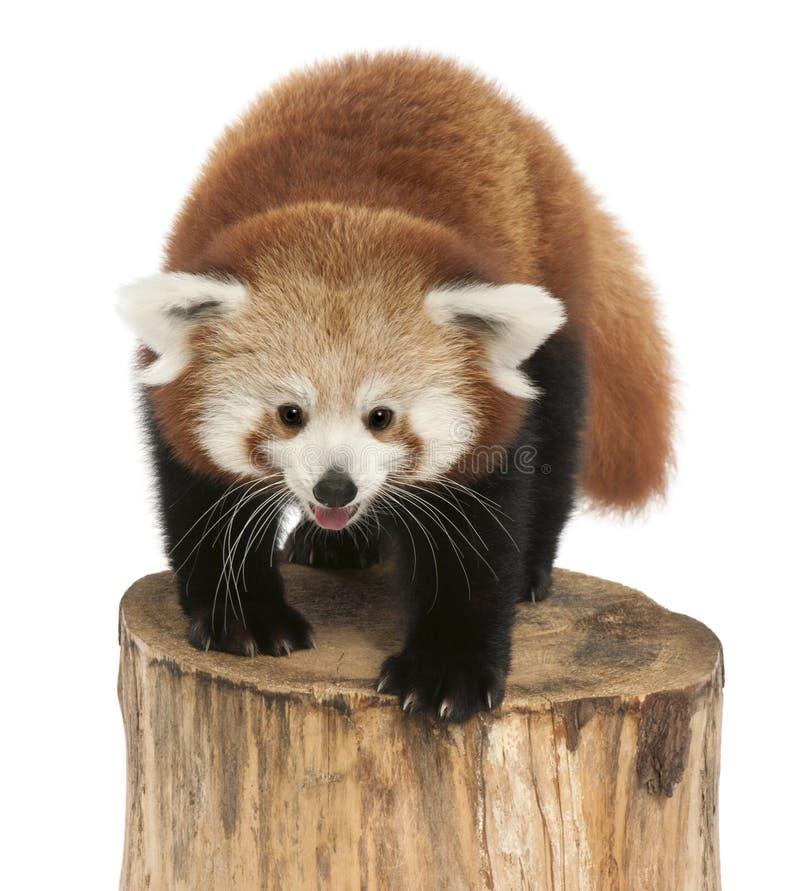 幼小红熊猫或发光的猫,小雄猫属fulgens,7个月 库存图片