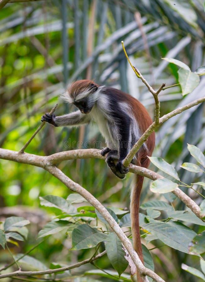 幼小红色短尾猴在森林里 库存照片