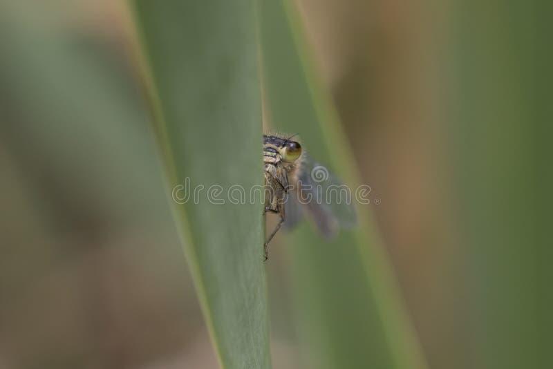幼小绿色蜻蜓画象  免版税库存照片