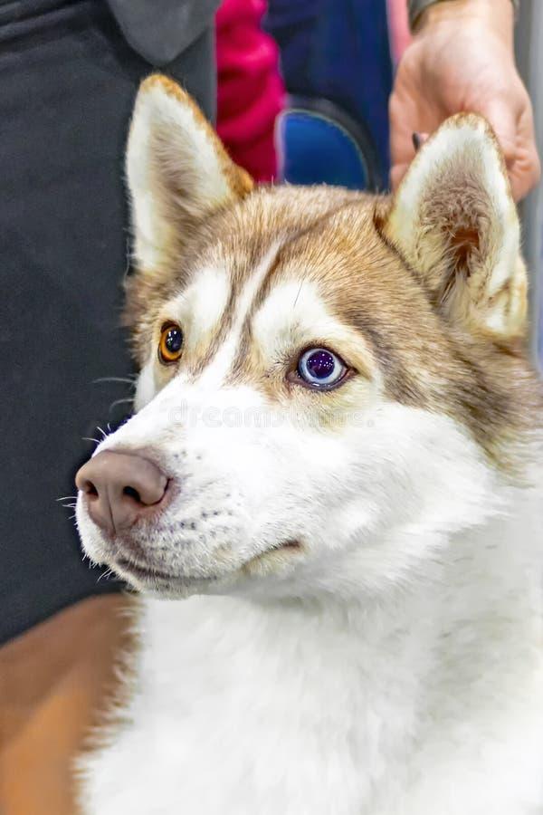 幼小美丽的滑稽的多壳的狗画象  与尖的耳朵的家养的纯净的养殖的西伯利亚爱斯基摩人狗 紧密,多彩多姿的眼睛 免版税库存照片