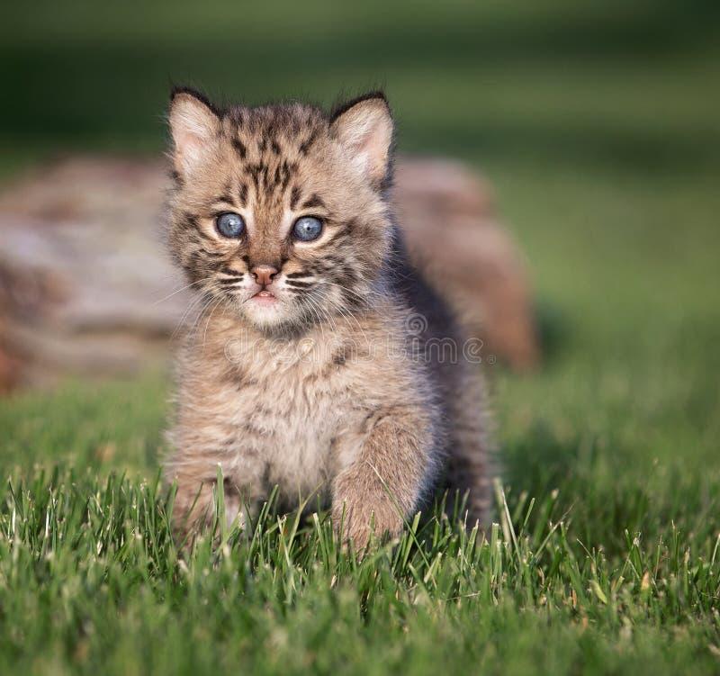 幼小美洲野猫小猫 免版税库存照片