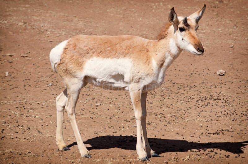 幼小羚羊 免版税库存照片