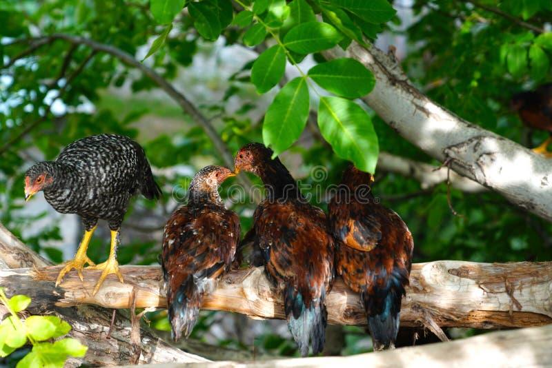 幼小自由放养的五颜六色的母鸡坐树枝 库存照片