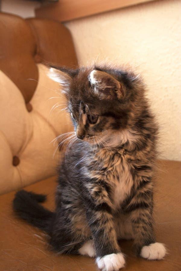 幼小虎斑猫坐沙发 免版税图库摄影