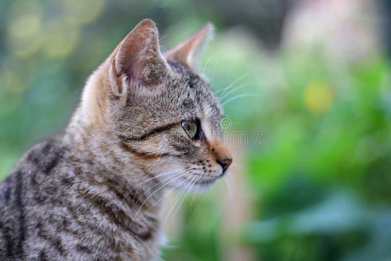幼小虎斑猫,特写镜头 图库摄影