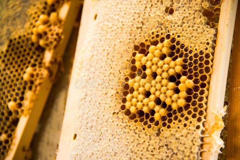 幼小蜂,在蜂蜜框架的男性寄生虫 库存图片