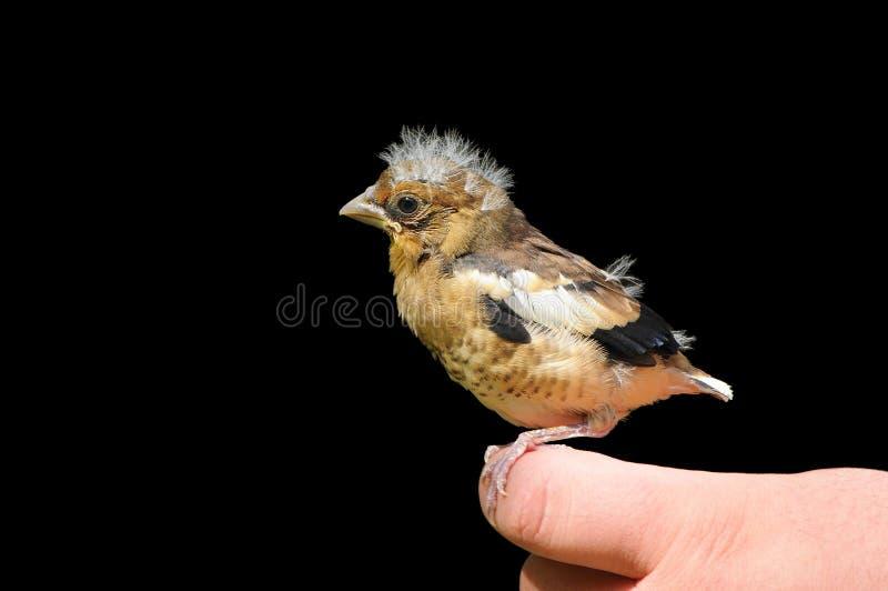 幼小蜡嘴鸟鸟 免版税库存照片