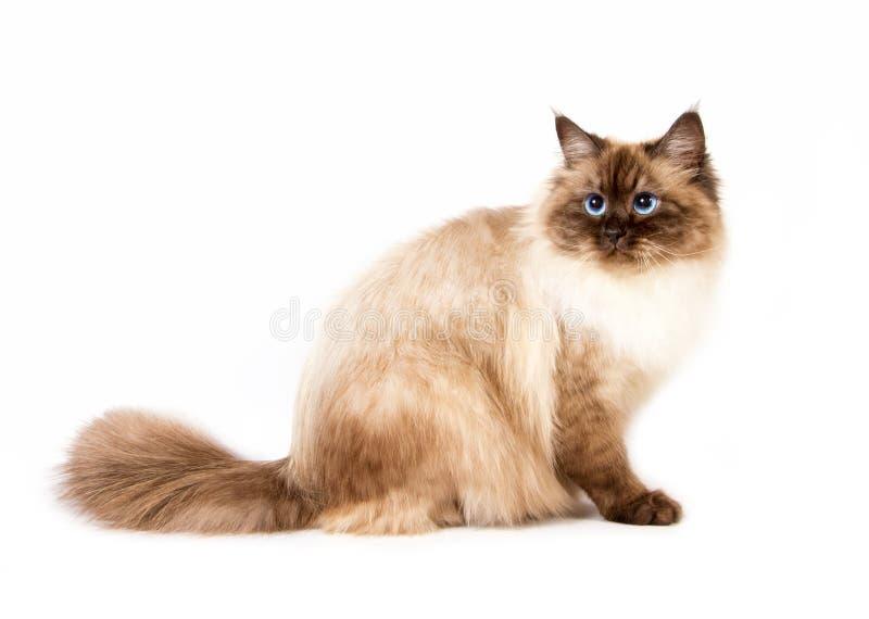 幼小西伯利亚neva masquarade颜色点猫 免版税库存图片