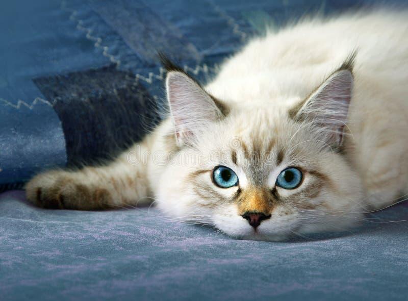 幼小西伯利亚neva masquarade colorpoint猫 图库摄影