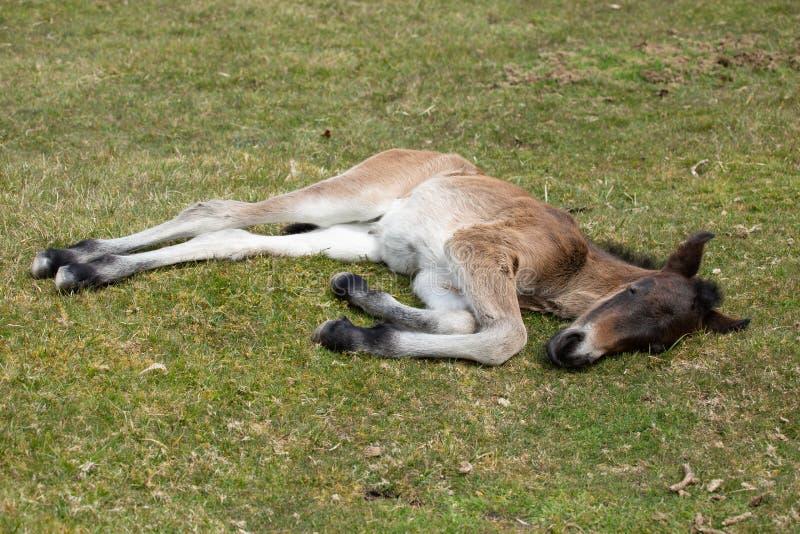 幼小野生荒野小马,博德明停泊,康沃尔郡 免版税库存照片