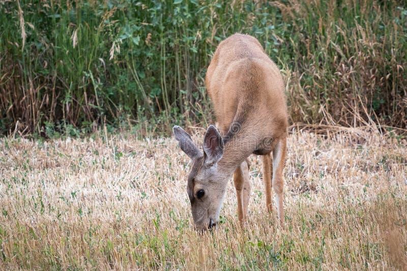 幼小长耳鹿母鹿在草吃草 库存照片