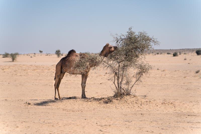 幼小骆驼在印度沙漠 免版税库存照片
