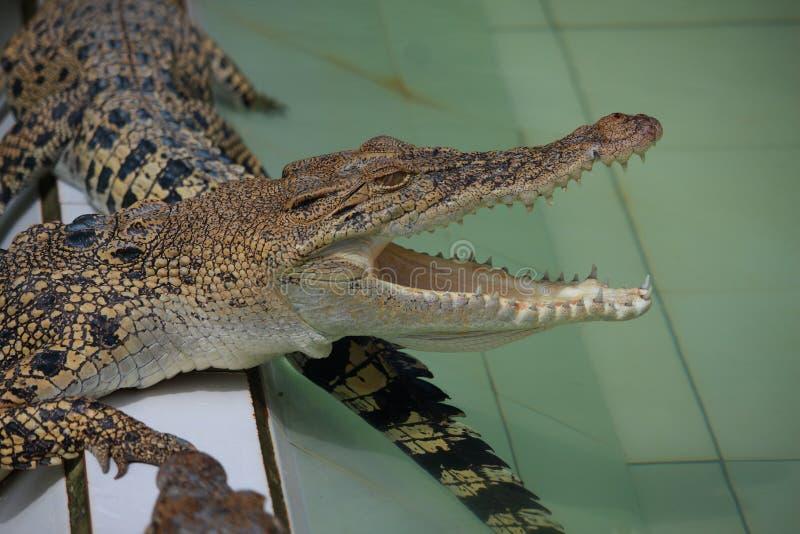 幼小鳄鱼在农场 免版税库存照片