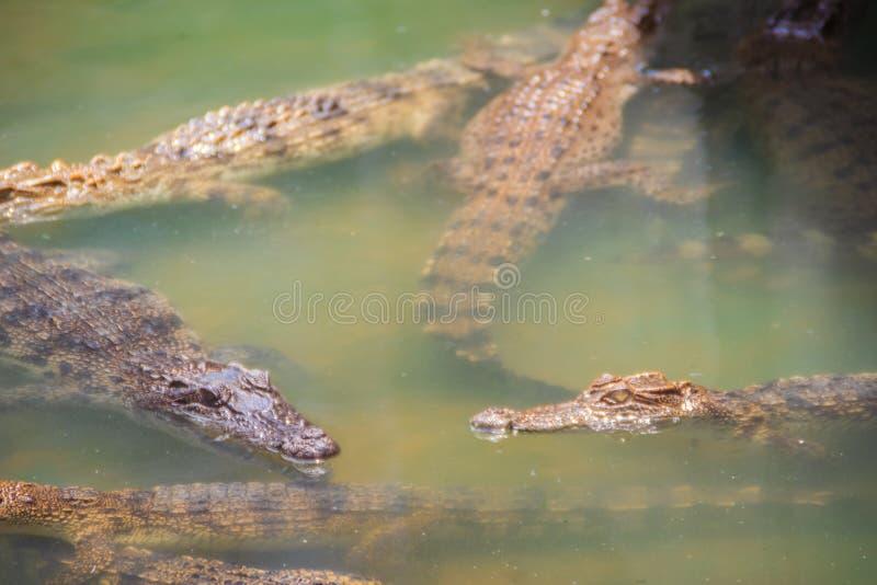 幼小鳄鱼在水中浮动在鳄鱼农场或 库存图片