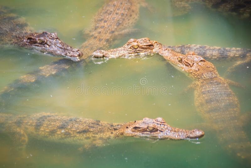 幼小鳄鱼在水中浮动在鳄鱼农场或 免版税库存图片
