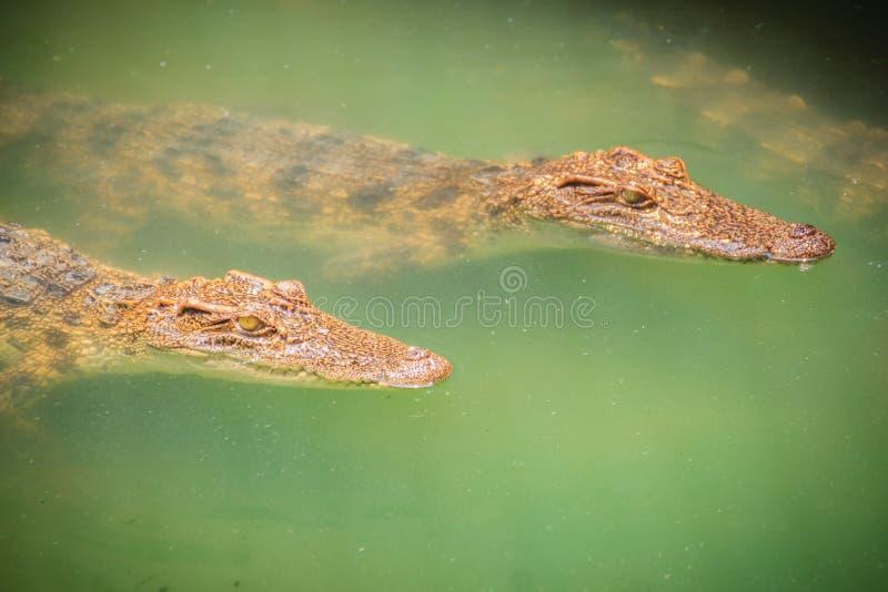幼小鳄鱼在水中浮动在鳄鱼农场或 免版税图库摄影