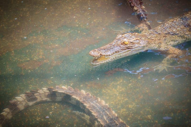 幼小鳄鱼在水中浮动在鳄鱼农场或 库存照片