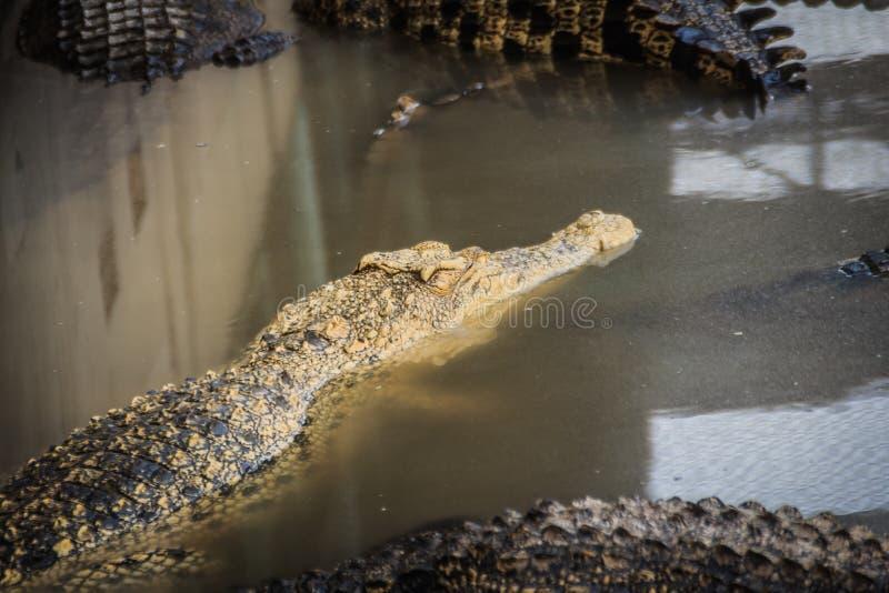 幼小鳄鱼在水中浮动在鳄鱼农场或 免版税库存照片