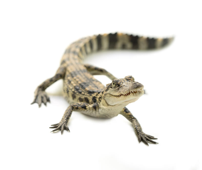 幼小鳄鱼 免版税库存照片