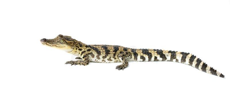 幼小鳄鱼 免版税图库摄影