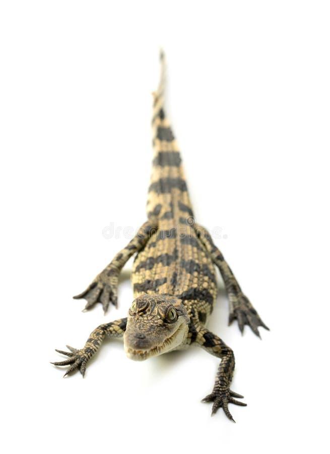 幼小鳄鱼 库存照片