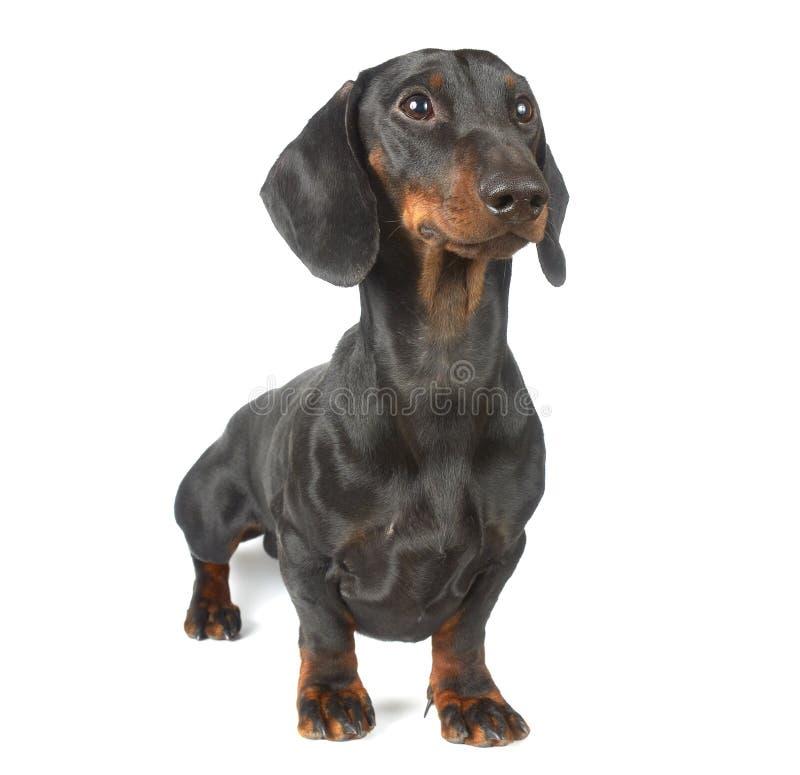 幼小黑色和棕褐色的达克斯猎犬 免版税库存照片