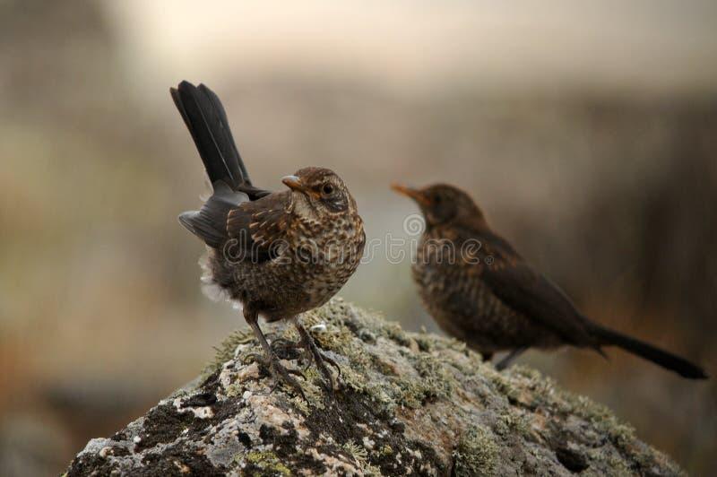 幼小黑鹂在岩石栖息 免版税库存照片
