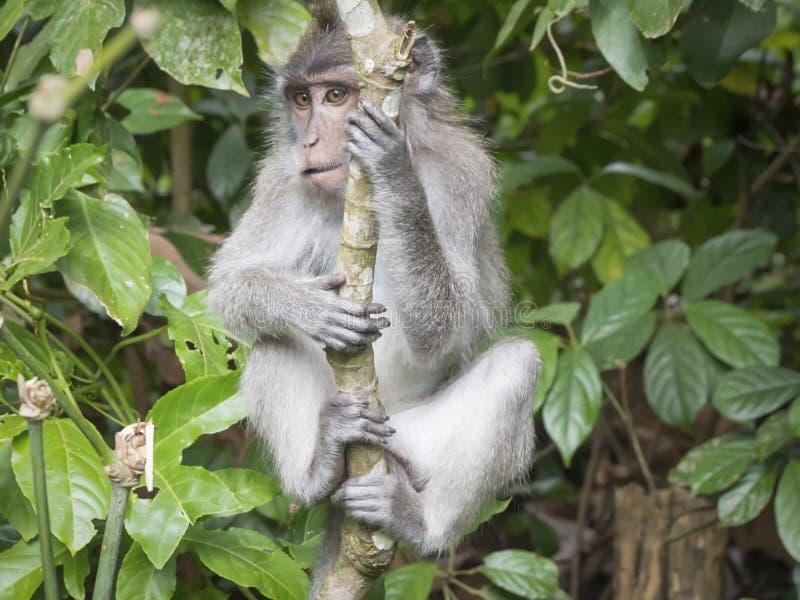 幼小猴子环境画象在Ubud森林,巴厘岛,印度尼西亚里 库存图片
