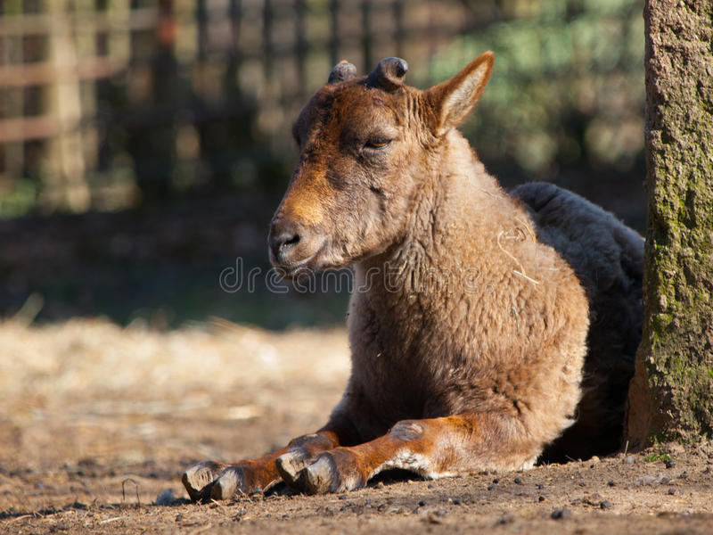 幼小Bukharan捻角山羊 库存图片