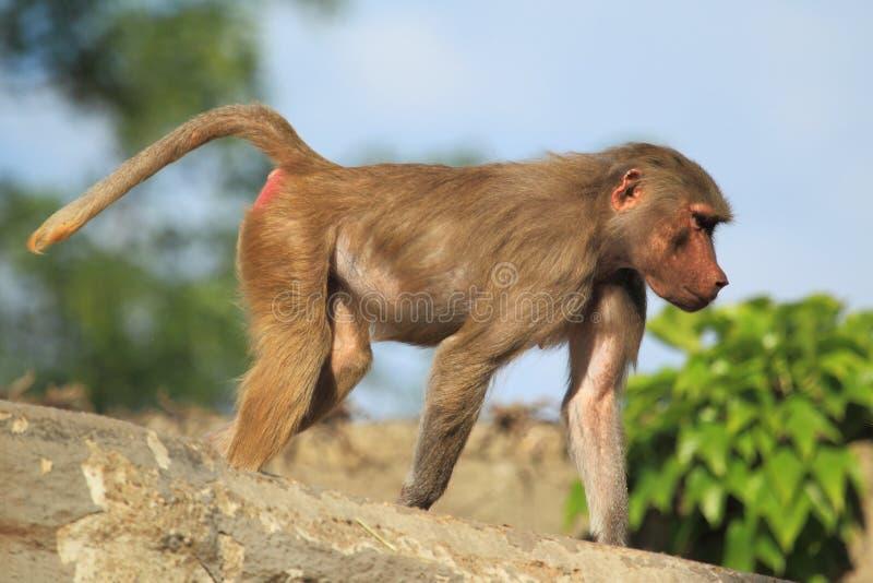 幼小hamadryas狒狒 免版税库存照片