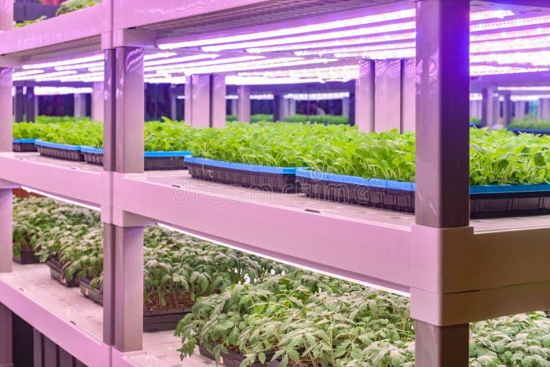 幼木增长与被带领的植物成长光自垂直的农业温室 免版税库存图片