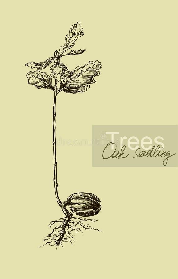 幼木橡木橡子的图表手图画 向量例证