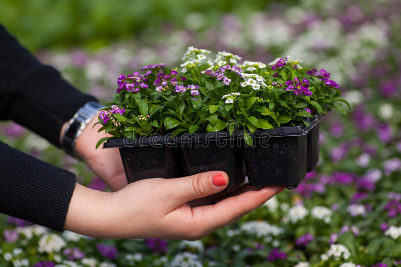 幼木藏品关闭相当桃红色,白色和紫色香雪球开花,十字花科每年开花植物 库存图片
