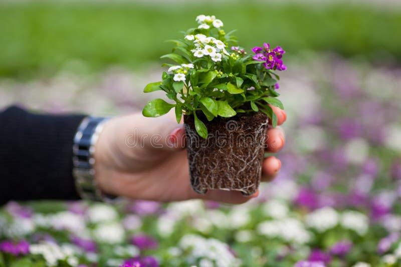 幼木藏品关闭相当桃红色,白色和紫色香雪球开花,十字花科每年开花植物 库存照片