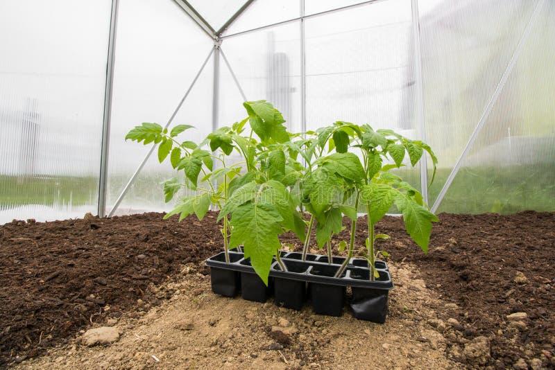 幼木西红柿菜自小温室准备好为 库存照片